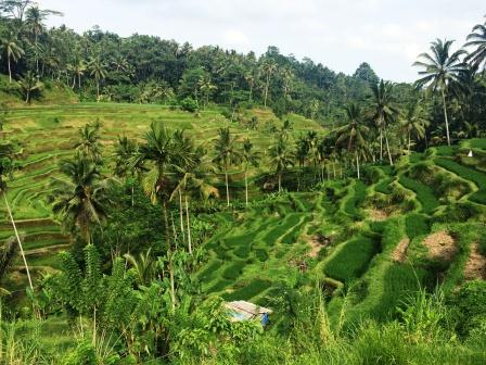 Rice Paddies and Coffee Poo